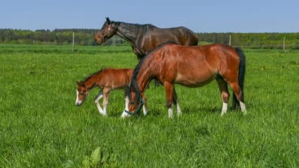 The lush spring grass provides plenty of nutrition - but both the pasture and your horses need protection from too much grazing. (Katzenfee50/Pixabay)