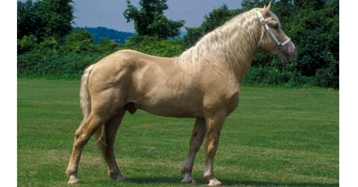 Thumbnail for American Cream Draft Horse