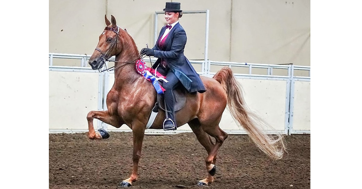 Thumbnail for American Saddlebred