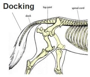horse docking, cropping horse tails