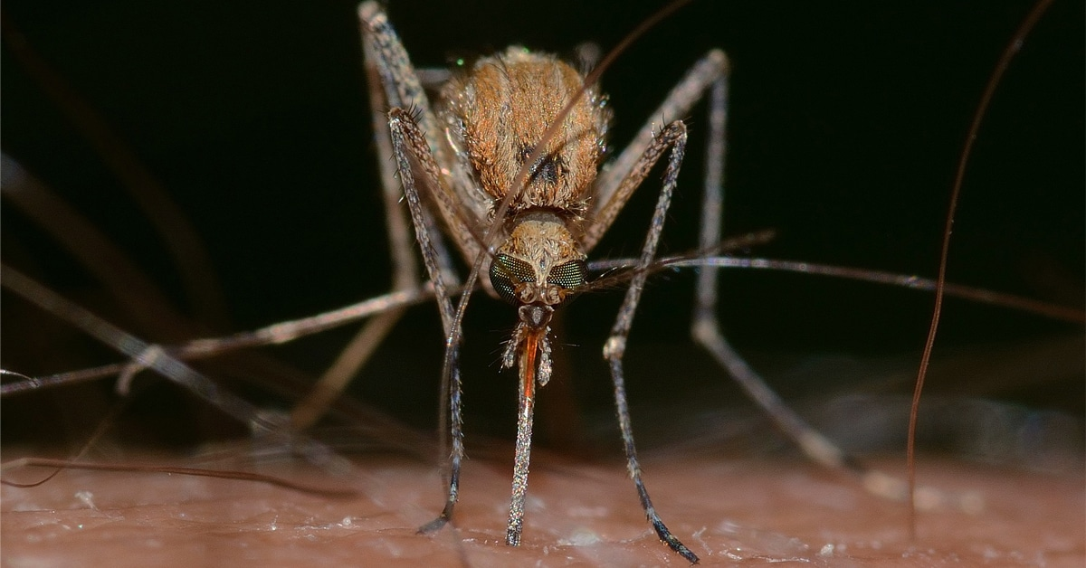 Thumbnail for Can Mosquitoes Transmit Coronavirus? Researchers Say No