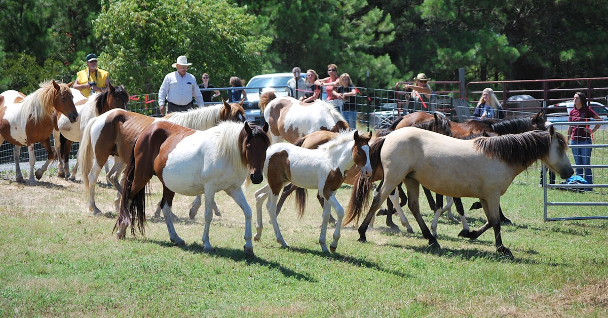 Thumbnail for 2020 Chincoteague Pony Swim and Live Auction Cancelled