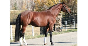Licensed Canadian Warmblood stallion Don Quixote of Klondike Victory Farm in Lacombe County, AB.