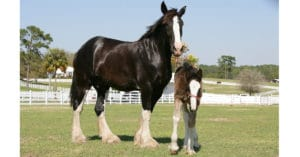 Shire horses, mare and foal in paddock