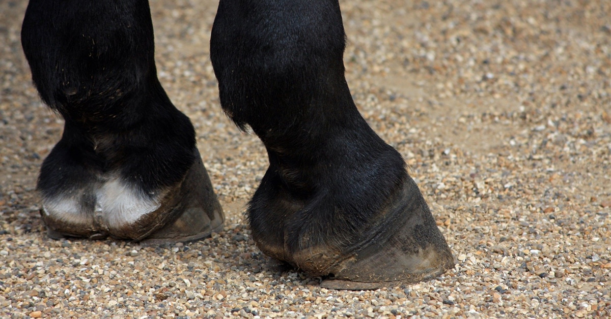 Thumbnail for Equine Guelph Presents Resource for Caring for Seniors' Hooves