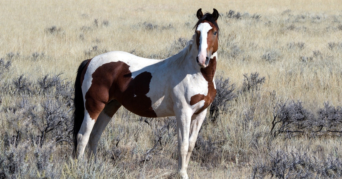 Thumbnail for BLM Wild Horse Sterilization Plan Causes Backlash