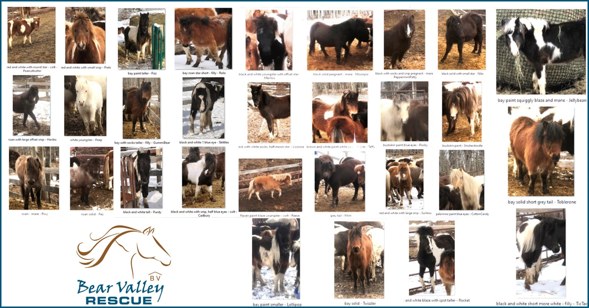 Thumbnail for Alberta Rescue Takes in 30 Ponies from Hoarding Situation
