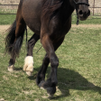 3 year old Gypsy Vanner cross QH colt