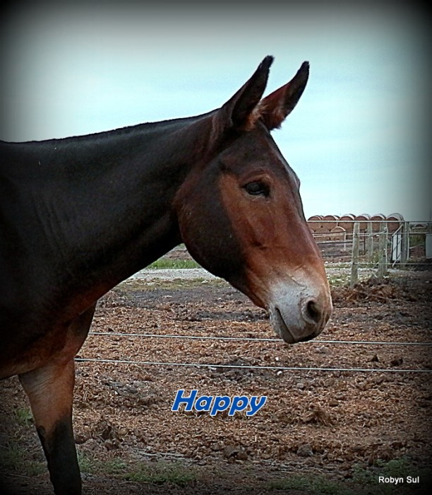 Farm Equipment For Sale In Alberta >> Classifieds – Horse Canada - Horses for Sale - Mule For Sale
