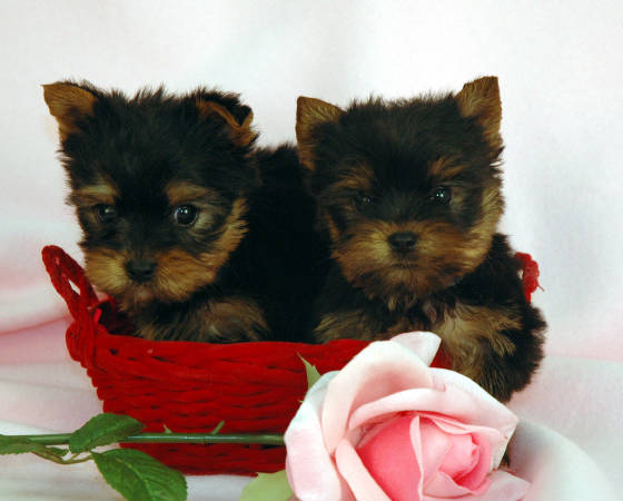 Adorable Teacup Yorkie Puppies For Adoption Text on (7