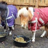 Adorable Miniature Mare and Colt Ready for new homes