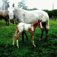 Beautiful Appaloosa Mare and Weanling Filly For Sale