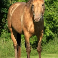 Rooster Pep Dun It - Champagne AQHA stallion