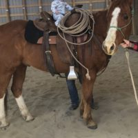 6 year old gelding quarter horse