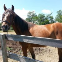 Registered Tennessee Walker
