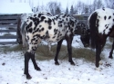 Flashy black leapord appaloosa