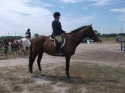 Free to Good Home, 9 yr old TB Gelding