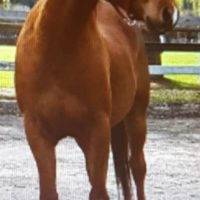 Registered Anglo Arab Gelding