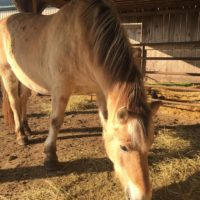 Fjord Mare for Sale