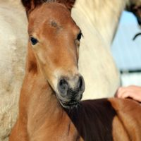 Rocky Mountain Horse Filly