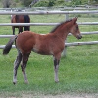 Athletic ArabX Colt for Sale