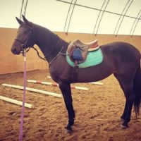 3.5yr old talented Hanoverian mare