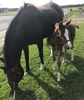 2019 Hanoverian colt by Fabregas out Royal Prince