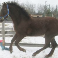 Soon to be 2 year old colt Canadian Morgan Registered.