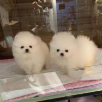 Lovely White Mini Teacup Pomeranian Puppies for Sale