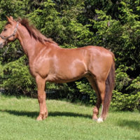 Elegant, Trakehner/Irish Sport Horse for sale