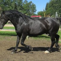 outstanding Canadian Horse - Stallion at Stud.