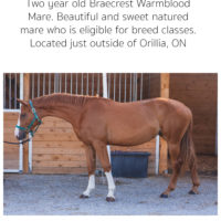 Braecrest Warmblood Mare