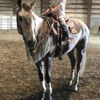 8 Year old All around Kid Safe Grey AQHA Helding