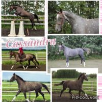 4 yr WB mare standing 16.2HH