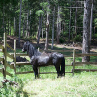 Black Morgan Stallion