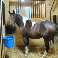 Reg. Paint Mare for Sale