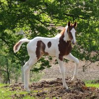 1.5 Month Old Colt for sale