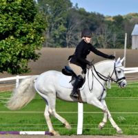 """Glenn Erin Echo"" Grey 14.1 Connemara Pony Stallion"