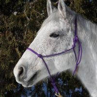 Experienced QH/Paint/Arab cross for SALE