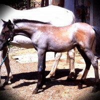 High quality Lipizzaner filly