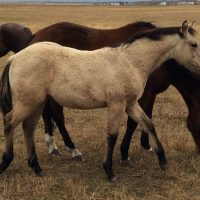REGISTERED QUARTER HORSE HERD DISPERSAL -OVER 100 HEAD
