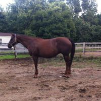 "In Foal to Son of ""Zips Chocolate Chip"""