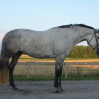 Beautiful Dapple Grey Percheron/TB X Mare