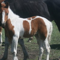 2019 APHA Filly