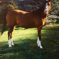 Registered Thoroughbred Mare