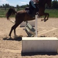 15,3 Arabian gelding for part-board