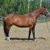 Canadian Warmblood Mare