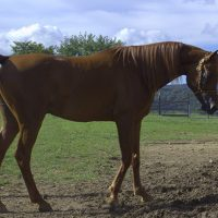 arabian horse for sale