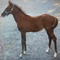 Anglo Arab Filly and Thoroughbred Mare