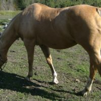 Mare in foal. Registered Quarter horse.